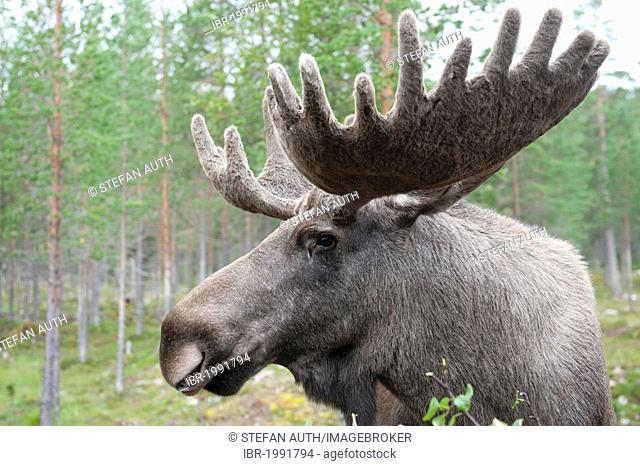 Moose (Alces alces), 7-year-old bull moose with large antlers covered in velvet, portrait, Moose Park, near Fulufjaellets National Park, Moerkret near Saerna