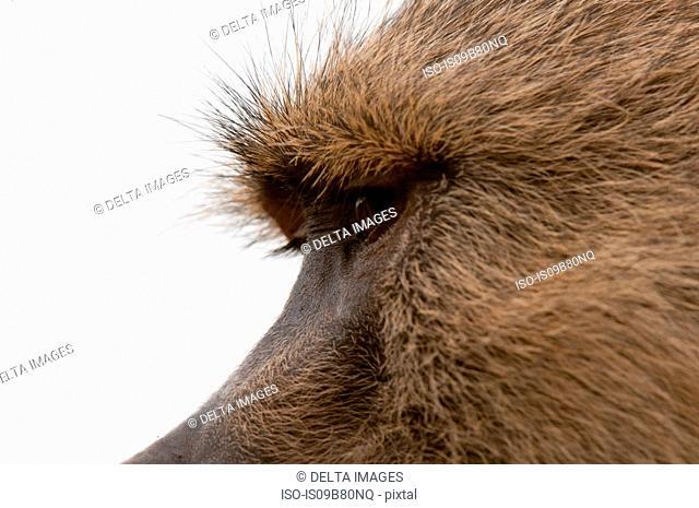 Yellow baboon (Papio hamadryas cynocephalus), Lualenyi Game Reserve, Tsavo, Kenya