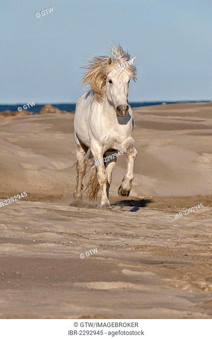 Camargue horse running on the beach, Bouches du Rhône, France, Europe