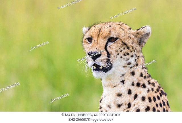 Portrait of a cheetah in Masai mara, Kenya, Africa