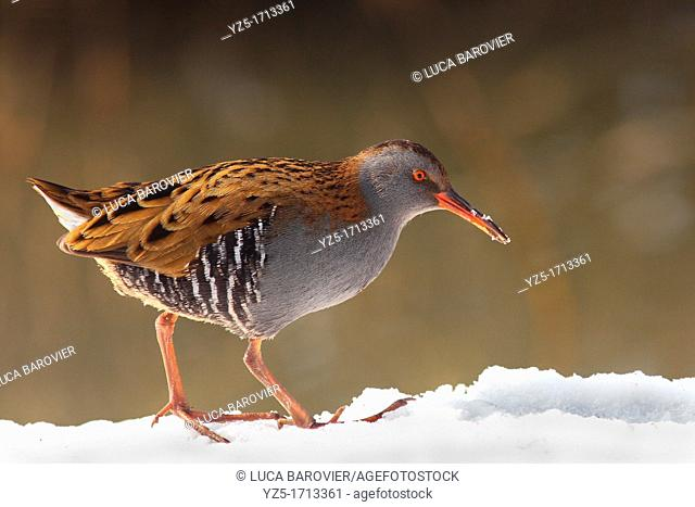 Water rail looking for food