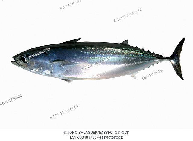 Auxis thazard saltwater frigate tuna fish isolated on white