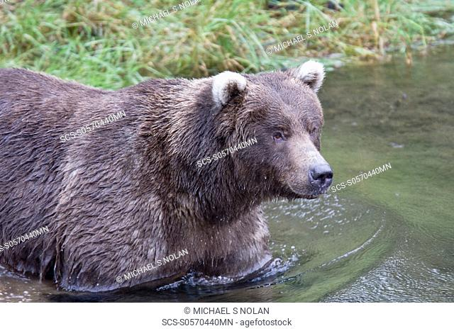 Brown bear Ursus arctos at the Brooks River in Katmai National Park near Bristol Bay, Alaska, USA Pacific Ocean The normal range of physical dimensions for a...