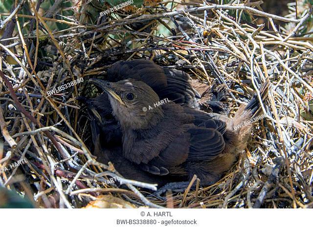 Le Conte's Thrasher (Toxostoma lecontei), squeakers in the nest, USA, Arizona, Phoenix