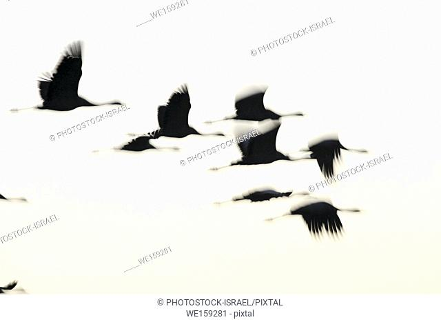 Common crane (Grus grus) Silhouetted at sun-set. Photographed in the Hula Valley, Israel, in January