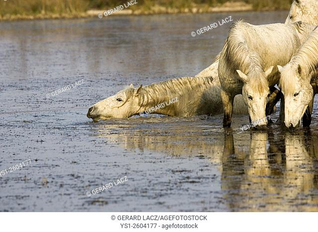 Camargue Horse, Group standing in Swamp, Saintes Maries de la Mer in the South East of France