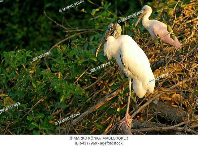 Wood Stork (Mycteria americana) and Roseate Spoonbill (Ajaia ajaja) sitting in tree, Pantanal, Mato Grosso, Brazil