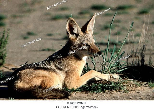 Black-backed Jackal, Kalahari Gemsbok National Park, Northern Cape, South Africa