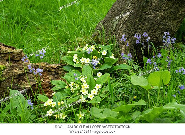 Primroses flowering amongst native British bluebells flowering in woodland