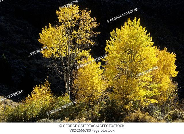 Autumn aspen in De Garmo Canyon, Hart Mountain National Antelope Refuge, Oregon