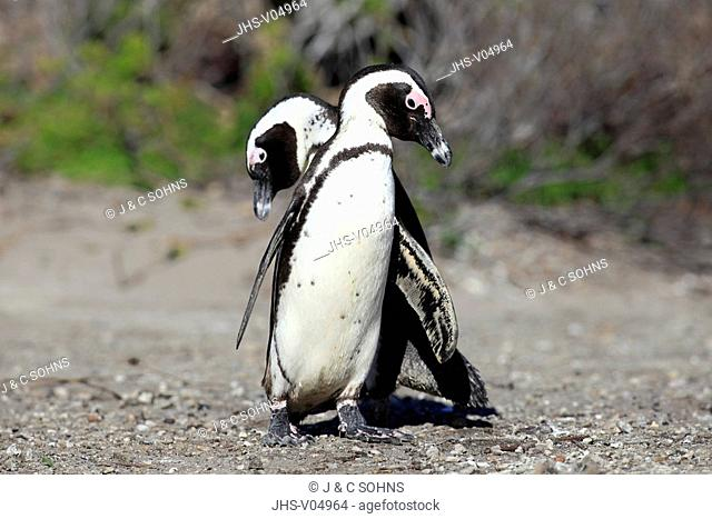 Jackass Penguin,Spheniscus demersus,Betty's Bay,South Africa,Africa,adult couple courting