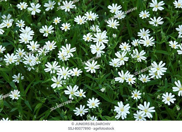 DEU, 2009: Stitchwort, Addersmeat, Greater Stitchwort (Stellaria holostea), flowering