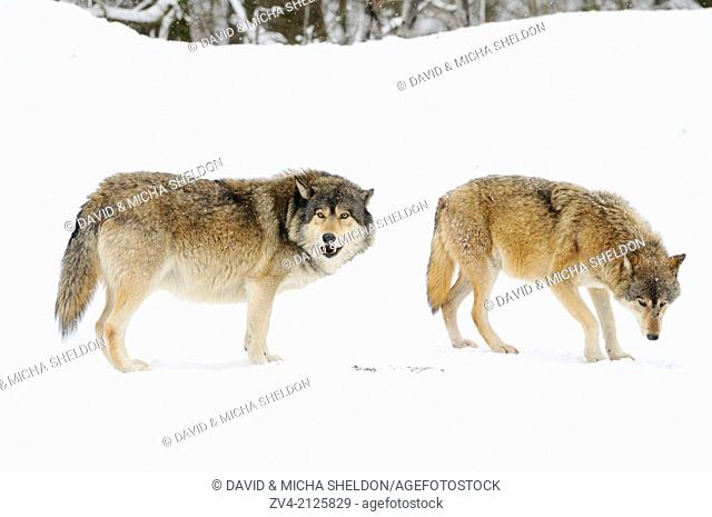 Two Eastern wolves (Canis lupus lycaon) in winter standing at the edge of a forest, Germany, Europe
