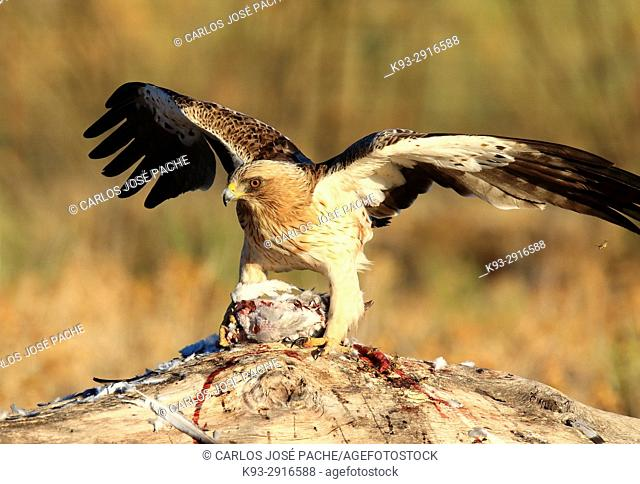 Male Booted eagle (Hieraaetus pennatus) with prey at dawn. Monfrague National Park, Extremadura, Spain