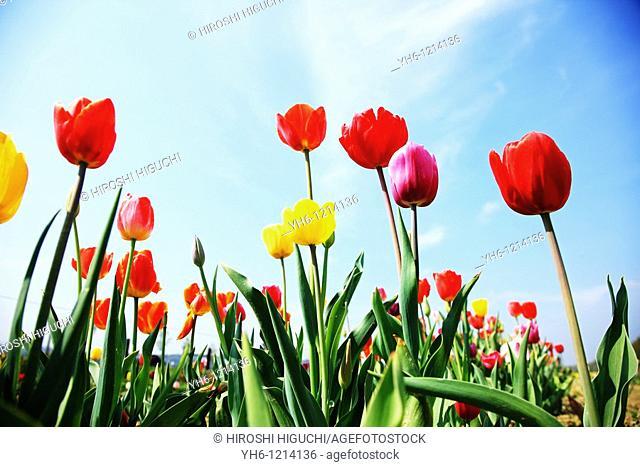 Tulip field, Switzerland, Canton Aargau, Rheinfelden
