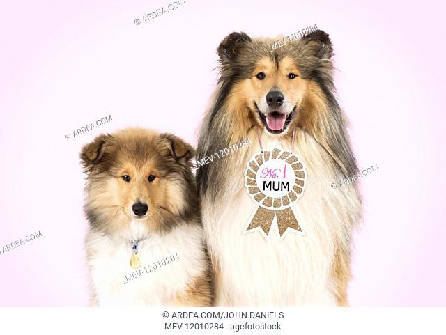 Rough Collie Dog - puppy & mother wearing \'No.1 Mum\' sign Rough Collie Dog - puppy & mother wearing \'No.1 Mum\' sign Rough Collie Dog - puppy &...