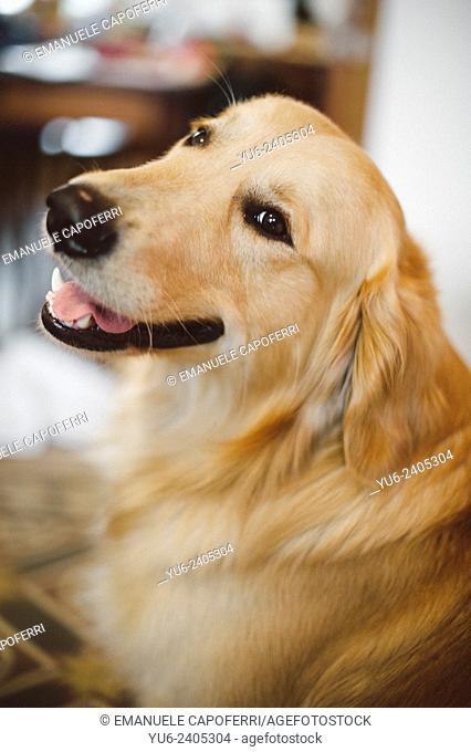 Portrait of Golden retriever in the house