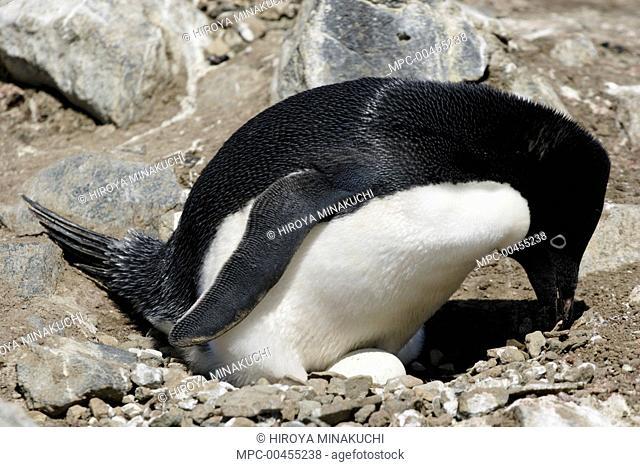 Adelie Penguin (Pygoscelis adeliae) on nest with egg, Antarctica