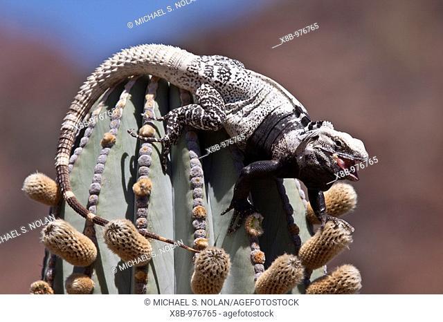 San Esteban spiny-tailed iguana Ctenosaura conspicuosa, an endemic iguana found only on Isla San Esteban in the Gulf of California Sea of Cortez