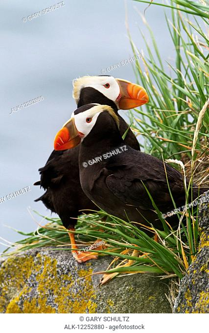 Pair of Tufted Puffins (Fratercula cirrhata) perched on a lichen covered boulder, Walrus Islands State Game Sanctuary, Round Island, Bristol Bay, Alaska