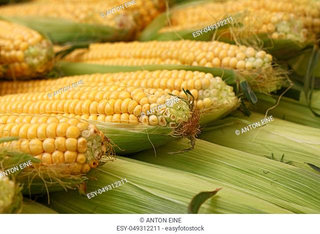 Heap of fresh raw yellow open corncobs with green leaves at retail stall display of farmers market, close up, low angle view