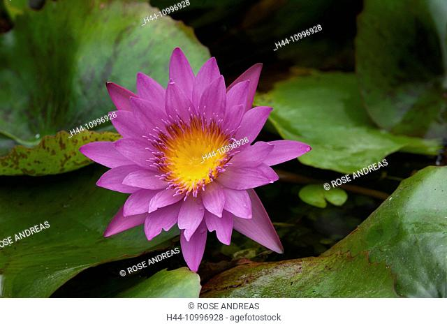 Blossoming water lilies, Nymphaea capensis, Danang, Vietnam, Asia