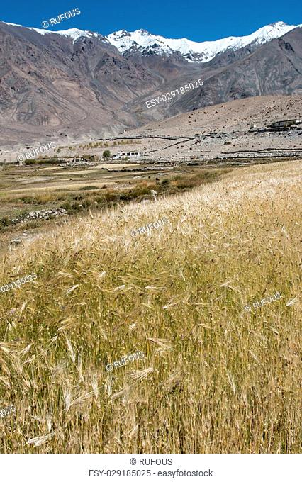 Beautiful golden cereals field, mountain snow background