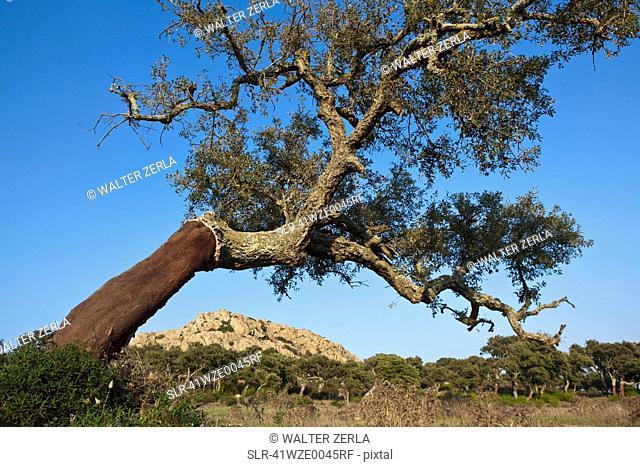 Stripped cork tree in rural field