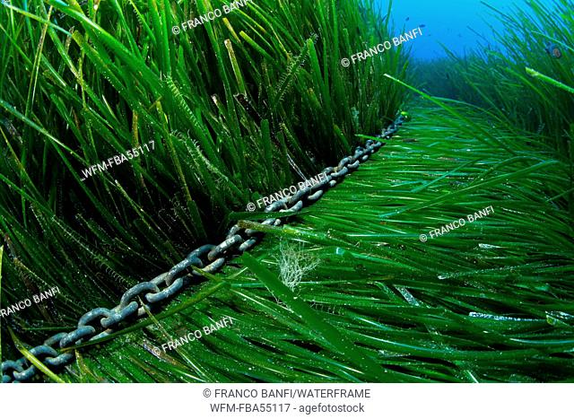 Anchor Chain in Seagrass Meadows, Posidonia oceanica, Ponza, Italy