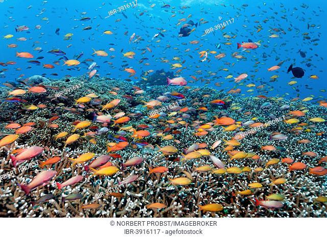 Fancy Basses (Anthiinae), Great Barrier Reef, UNESCO World Natural Heritage Site, Pacific Ocean, Queensland, Australia