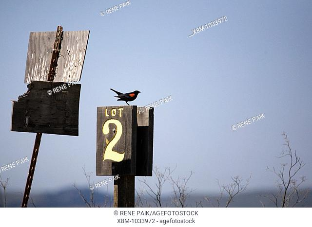 Red-winged Blackbird (Agelaius phoeniceus, fam. Icteridae) perched on the marker for parking lot 2 at the Grizzly Island Wildlife Refuge in California, USA