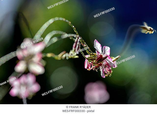 Wasp leaving Lindheimer's Beeblossom