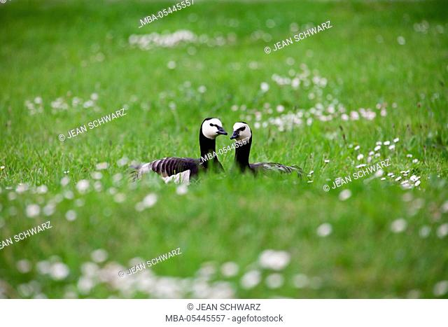 Two barnacle geese on a flower meadow