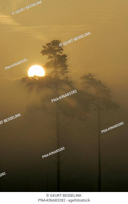 Scots Pine Pinus sylvestris - Koninklijke houtvesterij het Loo, Kroondomein het Loo, Veluwe, Guelders, The Netherlands, Holland, Europe
