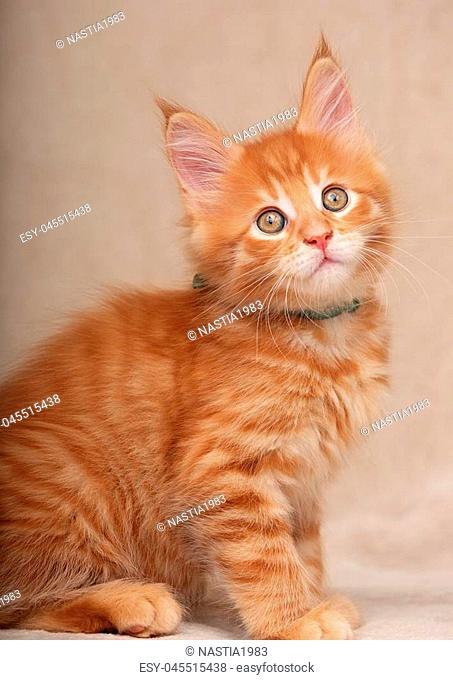 Funny adorable red solid maine coon kitten sitting with beautiful brushes on the ears on soft background. Closeup portrait