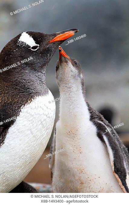 Gentoo penguin Pygoscelis papua adult with chick at breeding colony on Damoy Point, Antarctica, Southern Ocean  MORE INFO The gentoo penguin is the third...