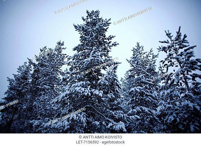 Snow-covered trees in Kittilä, Finnish Lapland