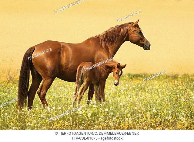 warmblood mare with foal
