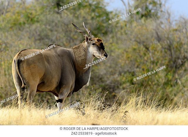 Common eland , also known as the southern eland or eland antelope (Taurotragus oryx). Mashatu Game Reserve. Northern Tuli Game Reserve. Botswana