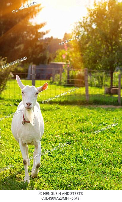 Curious white goat in field