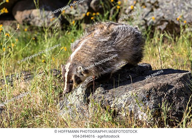 Curious American badger (Taxidea taxus), captive, California, USA