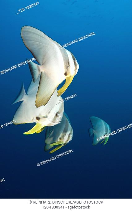 Longfin Batfishes, Platax teira, North Male Atoll, Maldives