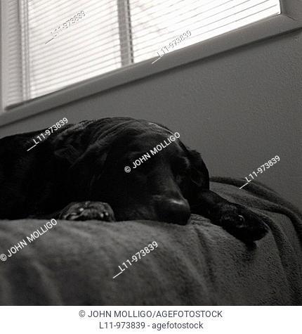 Black labrador retriever; sleeping on bed, under window