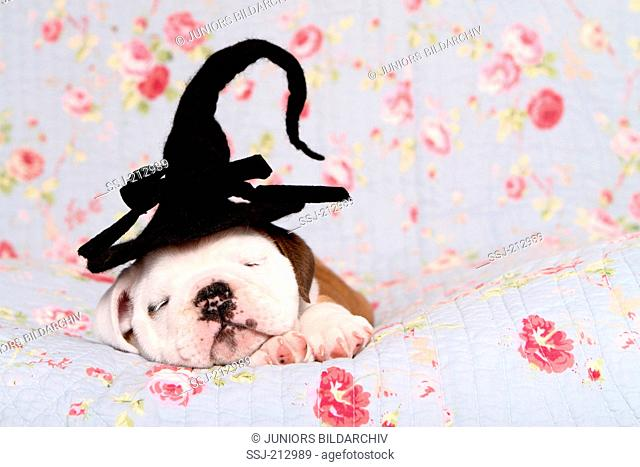 English Bulldog. Puppy (7 weeks old) wearing a witch hat on its head while sleeping on a blue blanket with rose flower print. Germany
