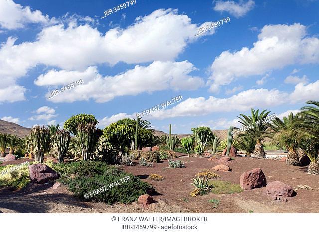 Palm trees, cacti and euphorbia plants, Las Playitas, Fuerteventura, Canary Islands, Spain