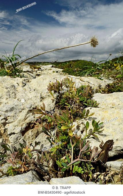 Lilford's wall lizard, Lilfords wall lizard (Podarcis lilfordi codrellensis, Podarcis codrellensis), in habitat, Spain, Balearen, Menorca