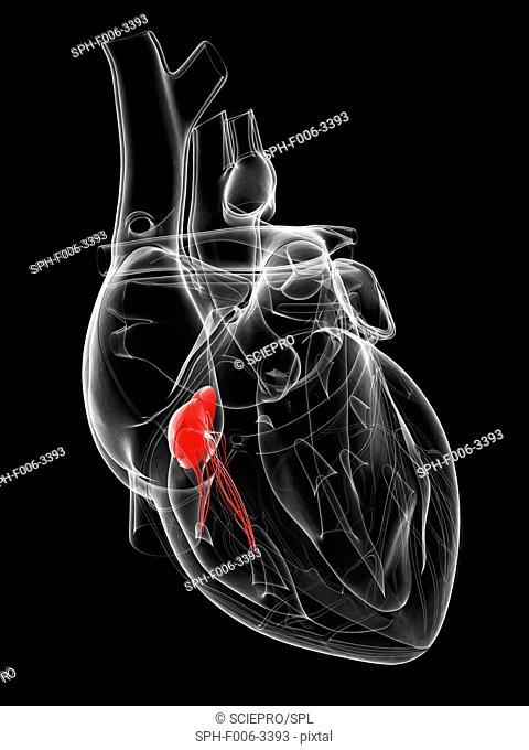 Heart valve. Computer artwork showing the tricuspid valve