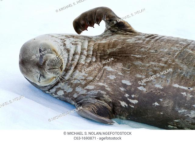 Weddell Seal Leptonychotes weddellii hauled out on ice at Cierva Cove, Antarctica, Southern Ocean