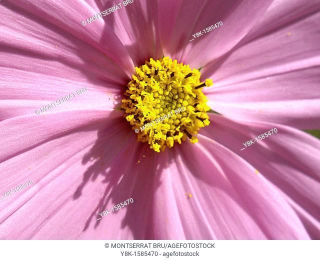 Cosmea flower closeup