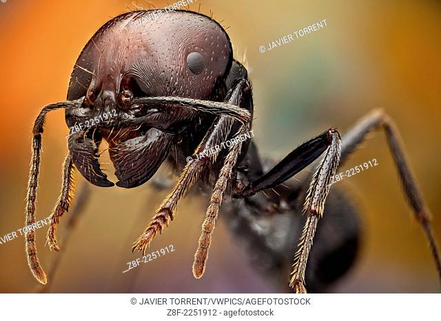 Soldier ants are easily identified because of their bigger heads and powerful mandibles